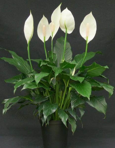 Spathiphyllum_Emerald_Star-1b_LowRes